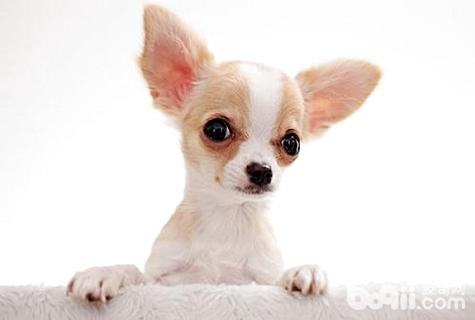 吉娃娃一只多少钱?吉娃娃多少钱-狗狗品种_0